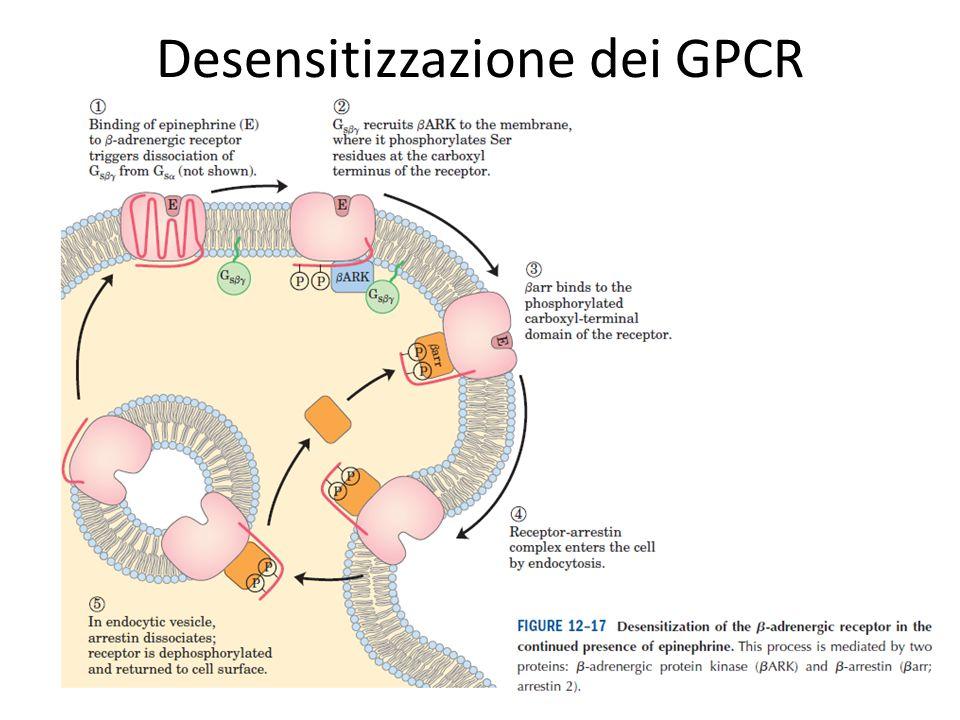 Desensitizzazione dei GPCR