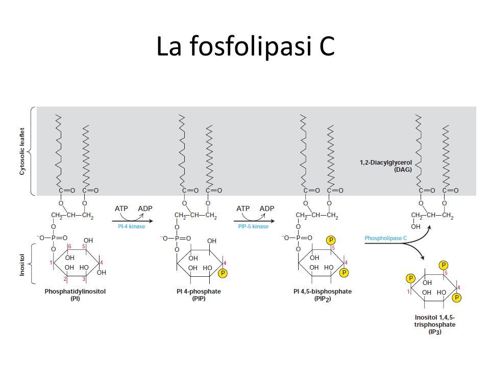 La fosfolipasi C