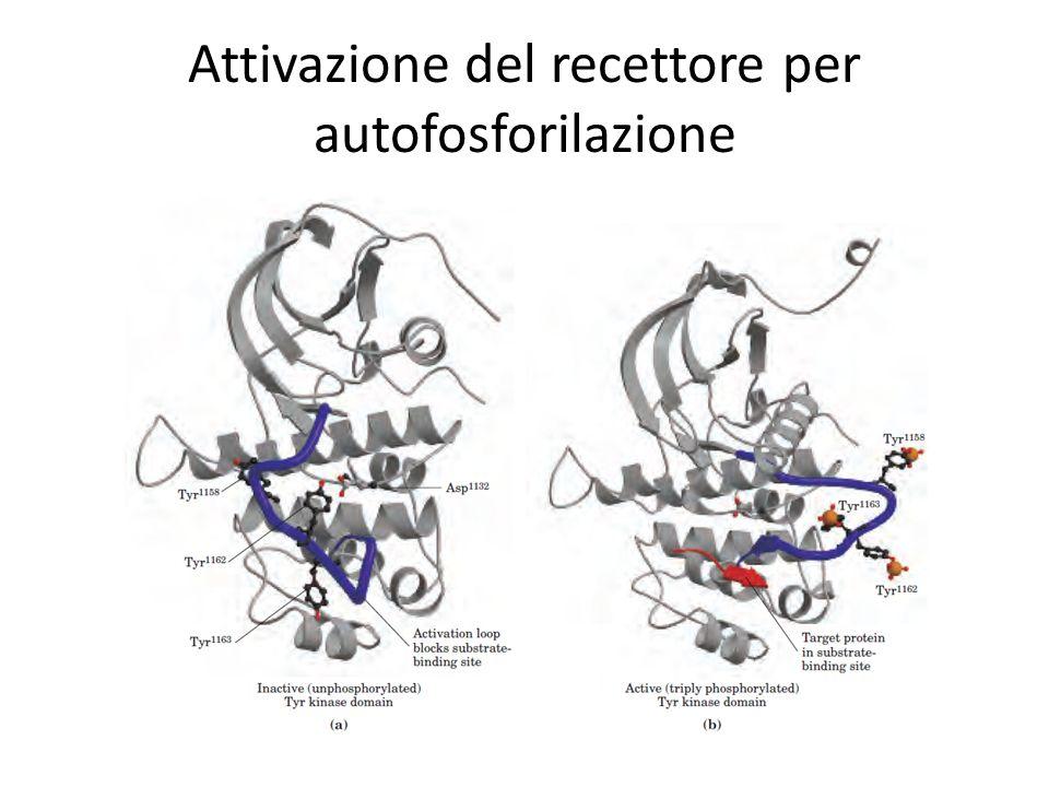 Attivazione del recettore per autofosforilazione