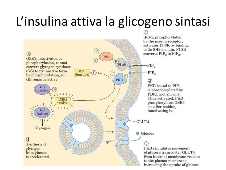 L'insulina attiva la glicogeno sintasi