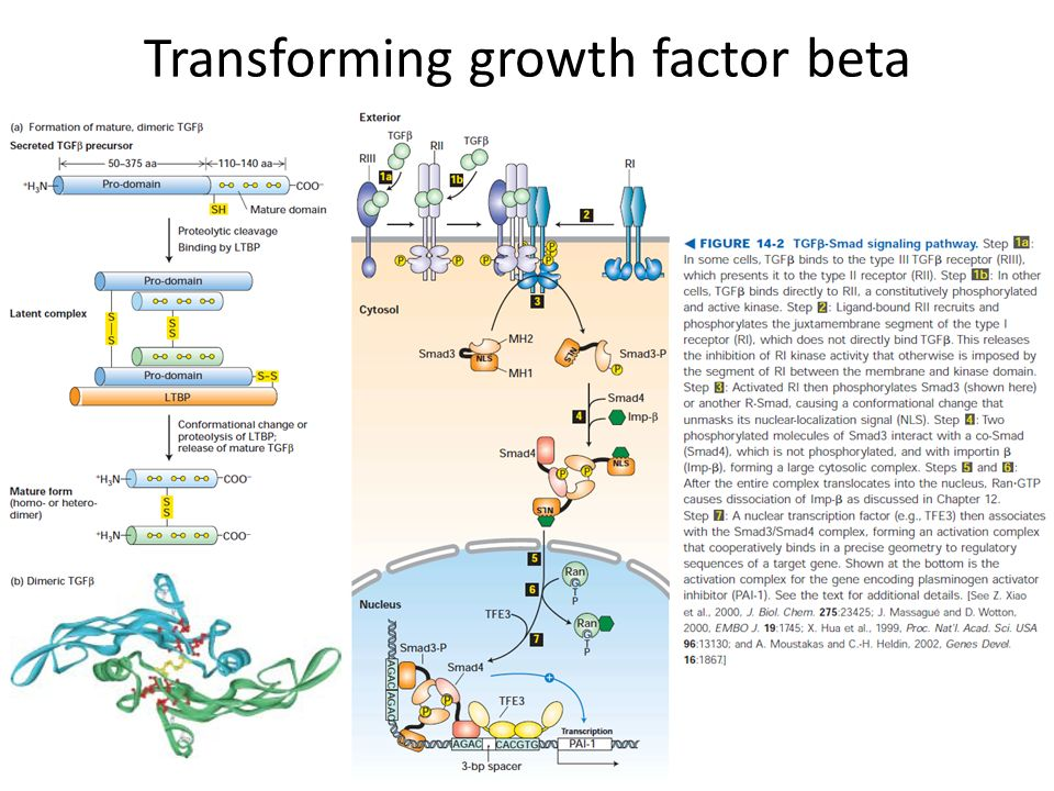 Transforming growth factor beta