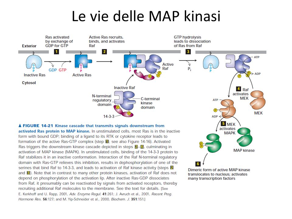 Le vie delle MAP kinasi