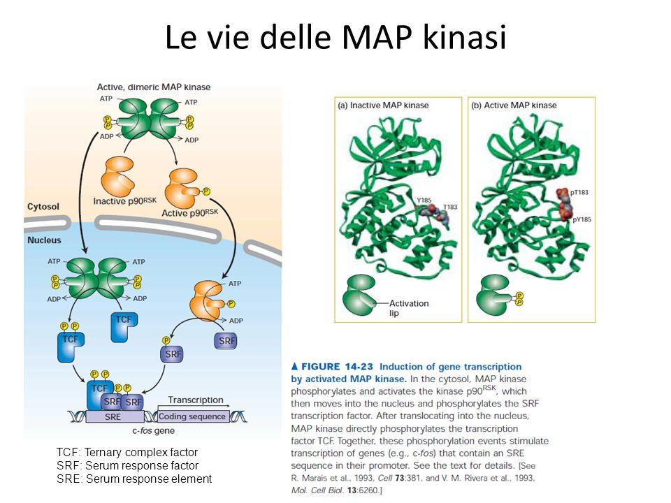 Le vie delle MAP kinasi TCF: Ternary complex factor