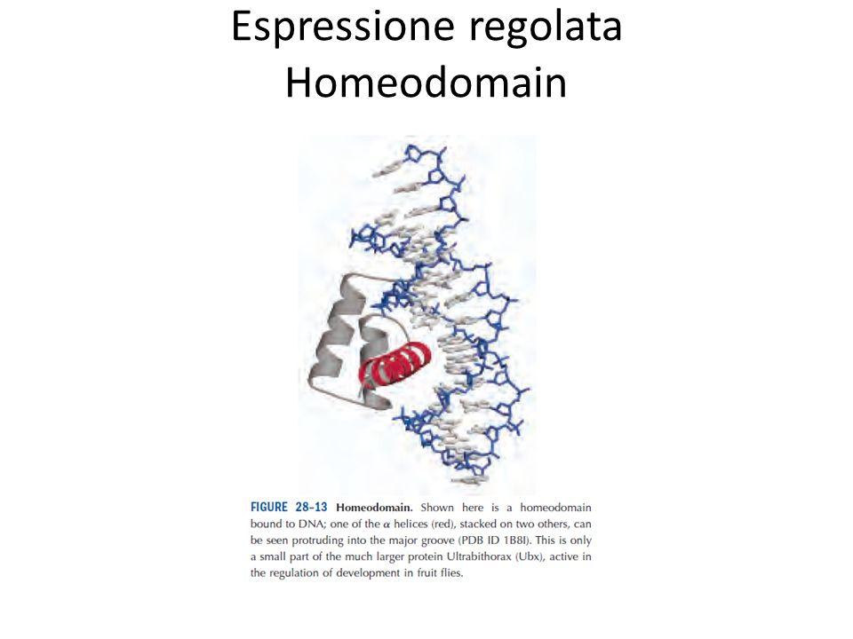 Espressione regolata Homeodomain
