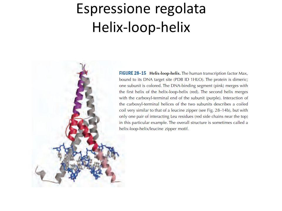 Espressione regolata Helix-loop-helix
