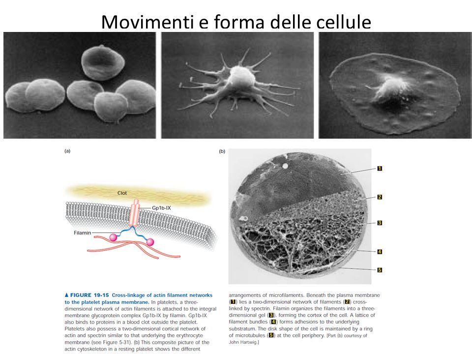 Movimenti e forma delle cellule