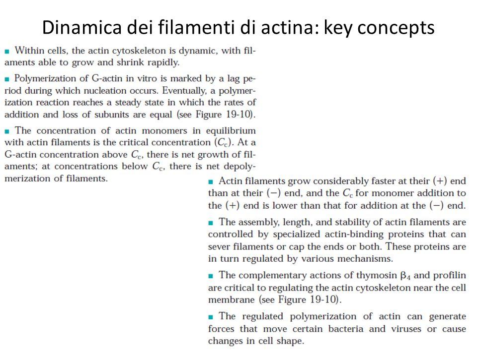 Dinamica dei filamenti di actina: key concepts