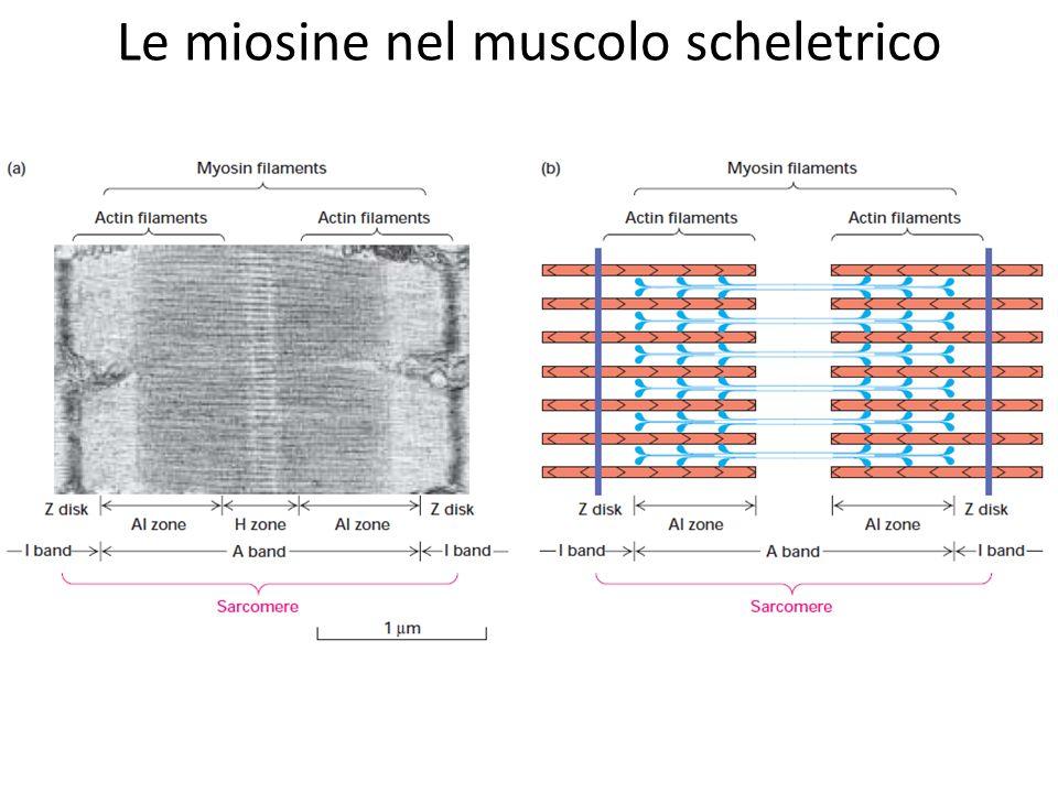 Le miosine nel muscolo scheletrico