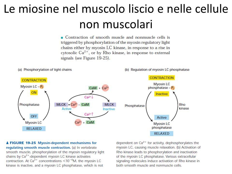 Le miosine nel muscolo liscio e nelle cellule non muscolari