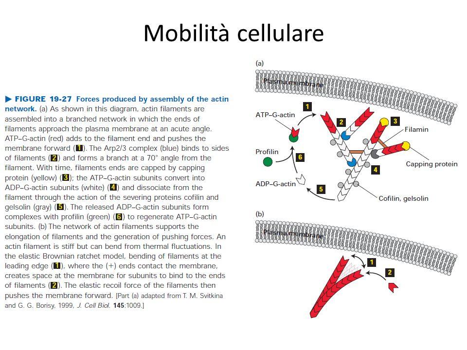 Mobilità cellulare