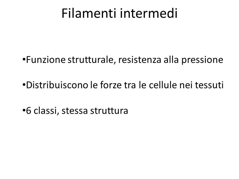 Filamenti intermedi Funzione strutturale, resistenza alla pressione