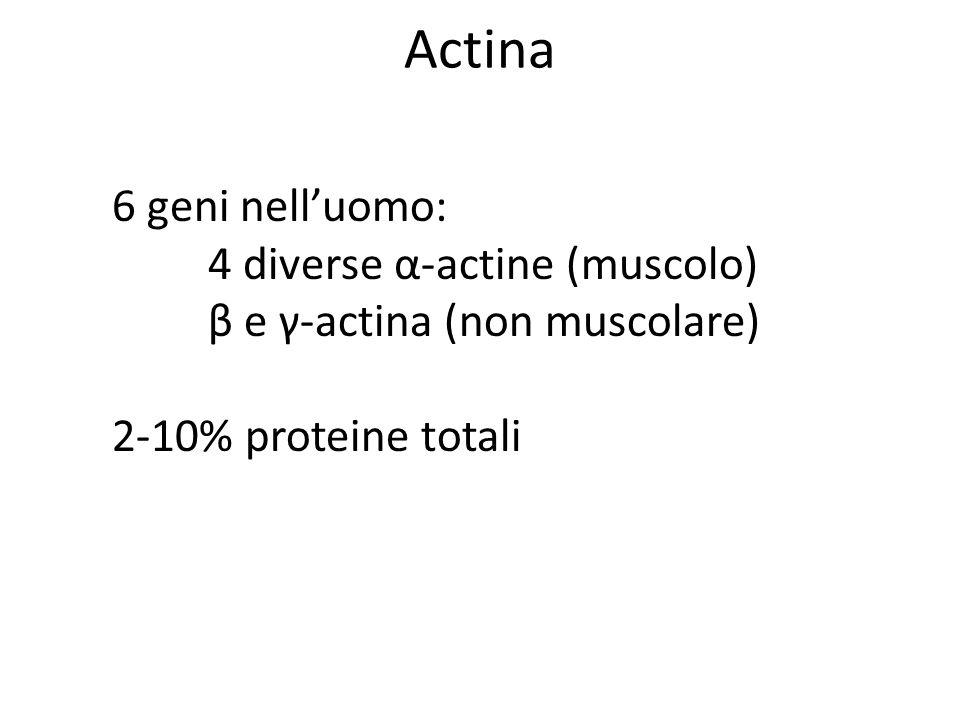 Actina 6 geni nell'uomo: 4 diverse α-actine (muscolo)