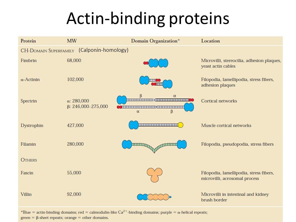 Actin-binding proteins