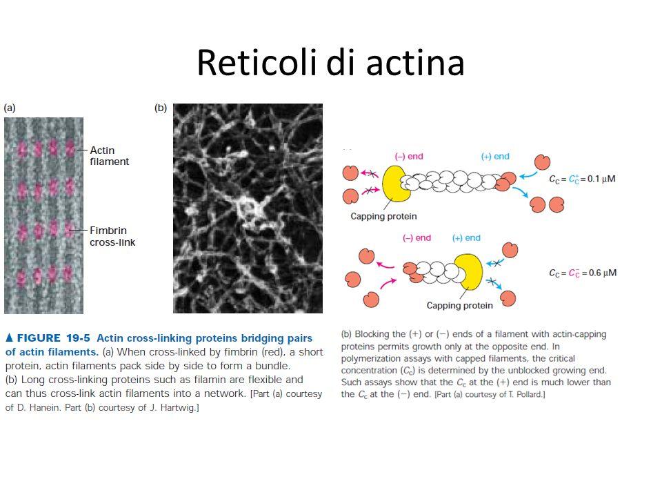 Reticoli di actina
