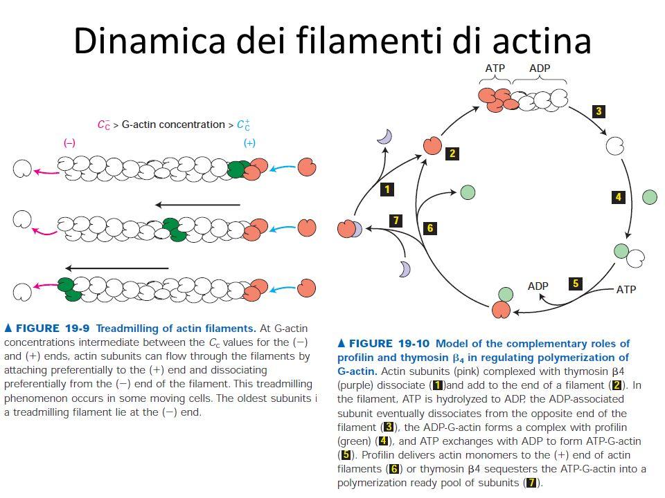 Dinamica dei filamenti di actina