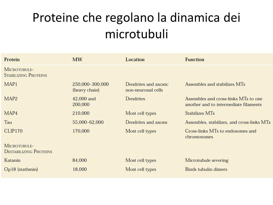 Proteine che regolano la dinamica dei microtubuli