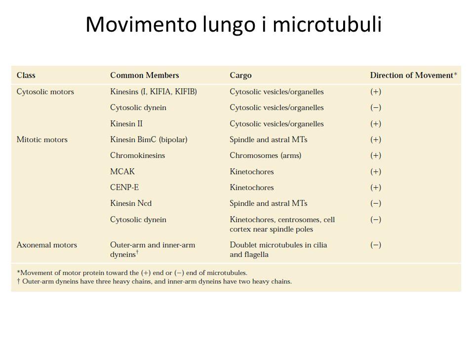 Movimento lungo i microtubuli