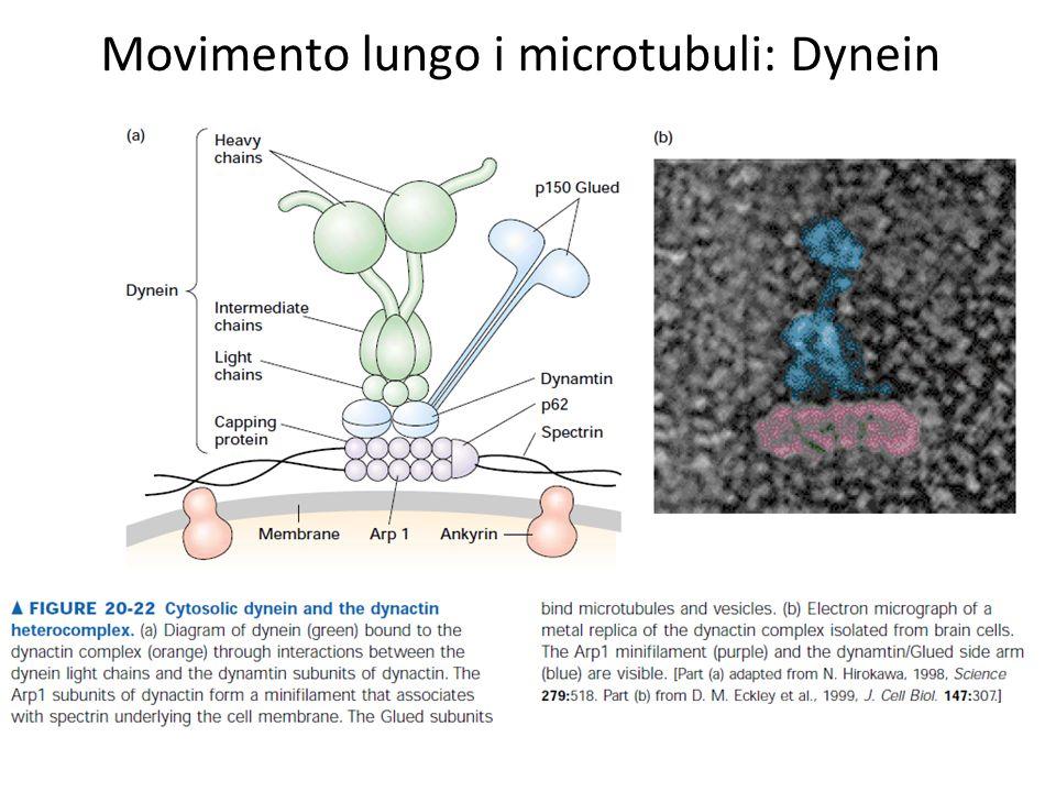 Movimento lungo i microtubuli: Dynein
