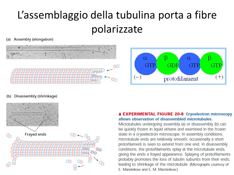 L'assemblaggio della tubulina porta a fibre polarizzate