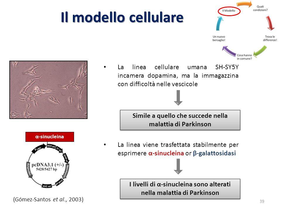 Il modello cellulare La linea cellulare umana SH-SY5Y incamera dopamina, ma la immagazzina con difficoltà nelle vescicole.