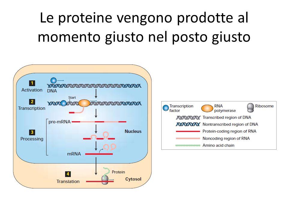 Le proteine vengono prodotte al momento giusto nel posto giusto
