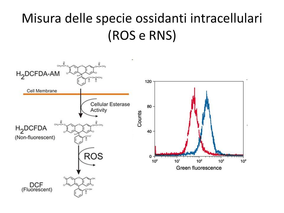 Misura delle specie ossidanti intracellulari (ROS e RNS)