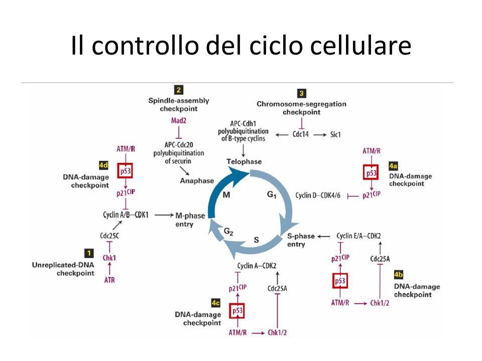 Il controllo del ciclo cellulare