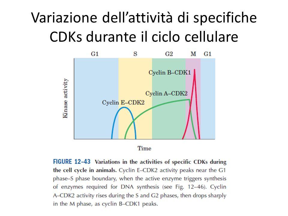 Variazione dell'attività di specifiche CDKs durante il ciclo cellulare