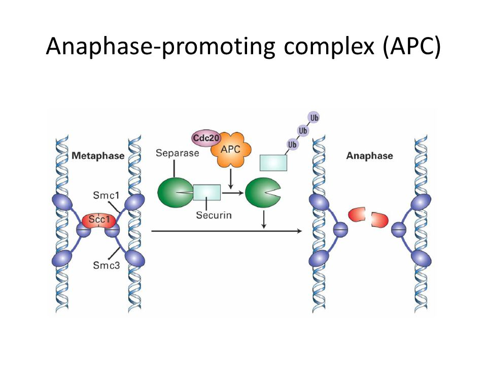 Anaphase-promoting complex (APC)