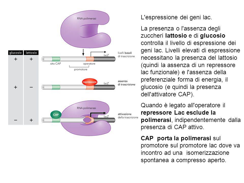 L espressione dei geni lac.