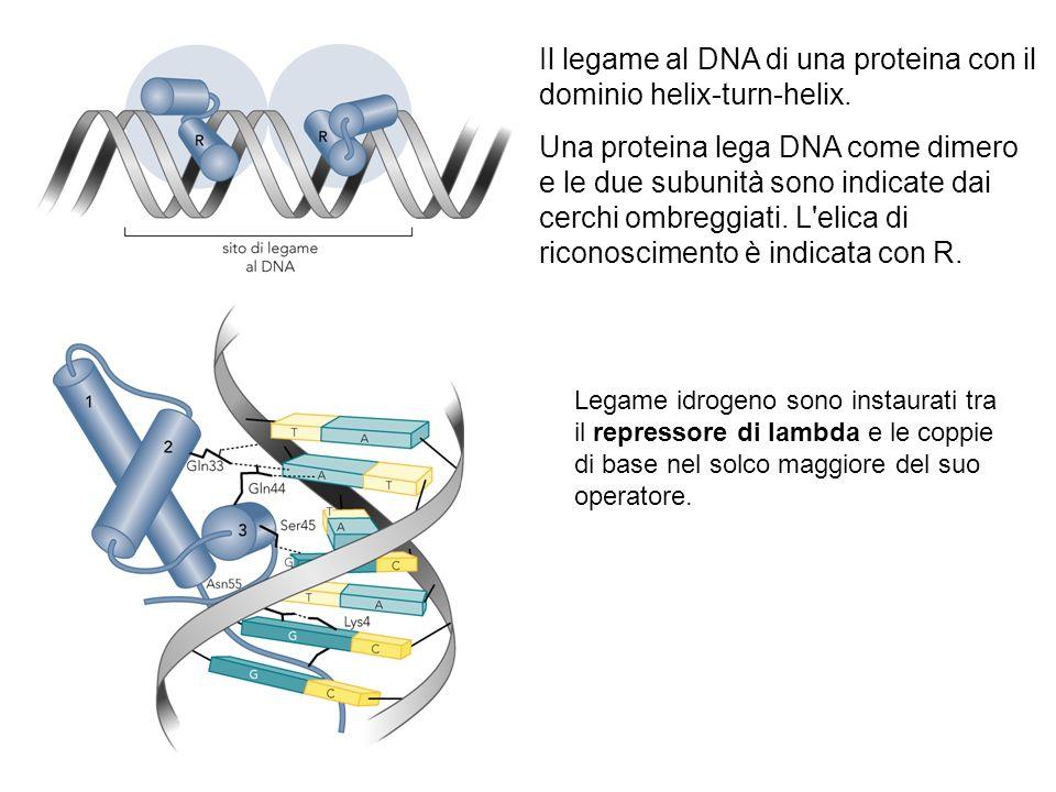 Il legame al DNA di una proteina con il dominio helix-turn-helix.