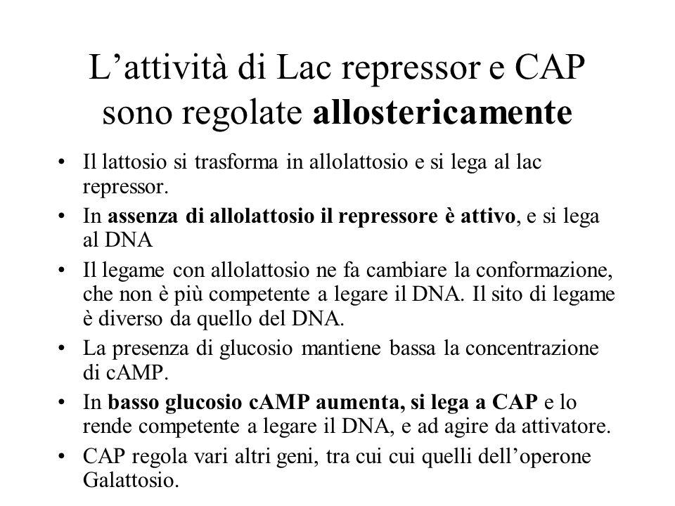 L'attività di Lac repressor e CAP sono regolate allostericamente