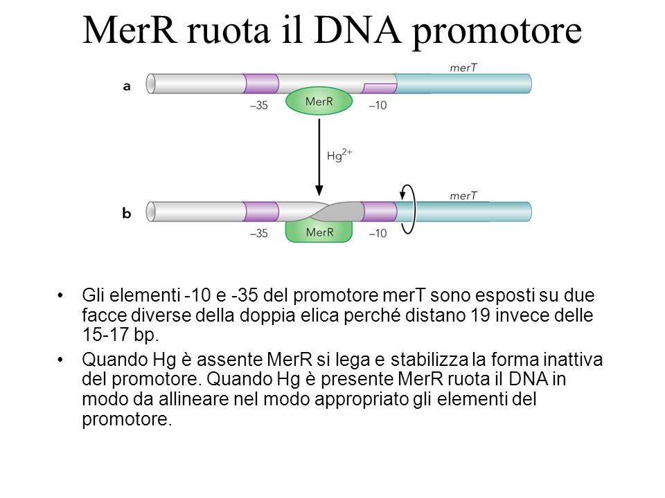 MerR ruota il DNA promotore