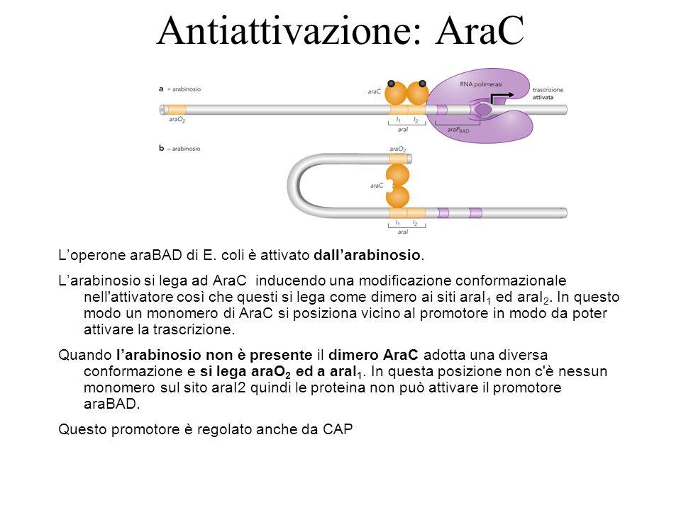 Antiattivazione: AraC
