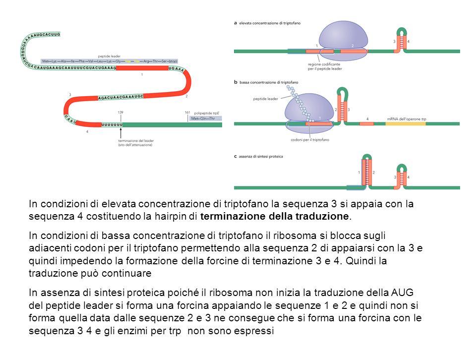 In condizioni di elevata concentrazione di triptofano la sequenza 3 si appaia con la sequenza 4 costituendo la hairpin di terminazione della traduzione.