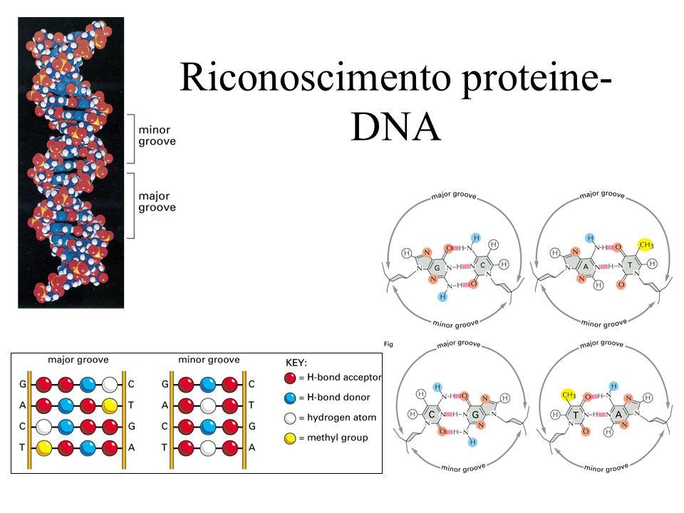 Riconoscimento proteine-DNA