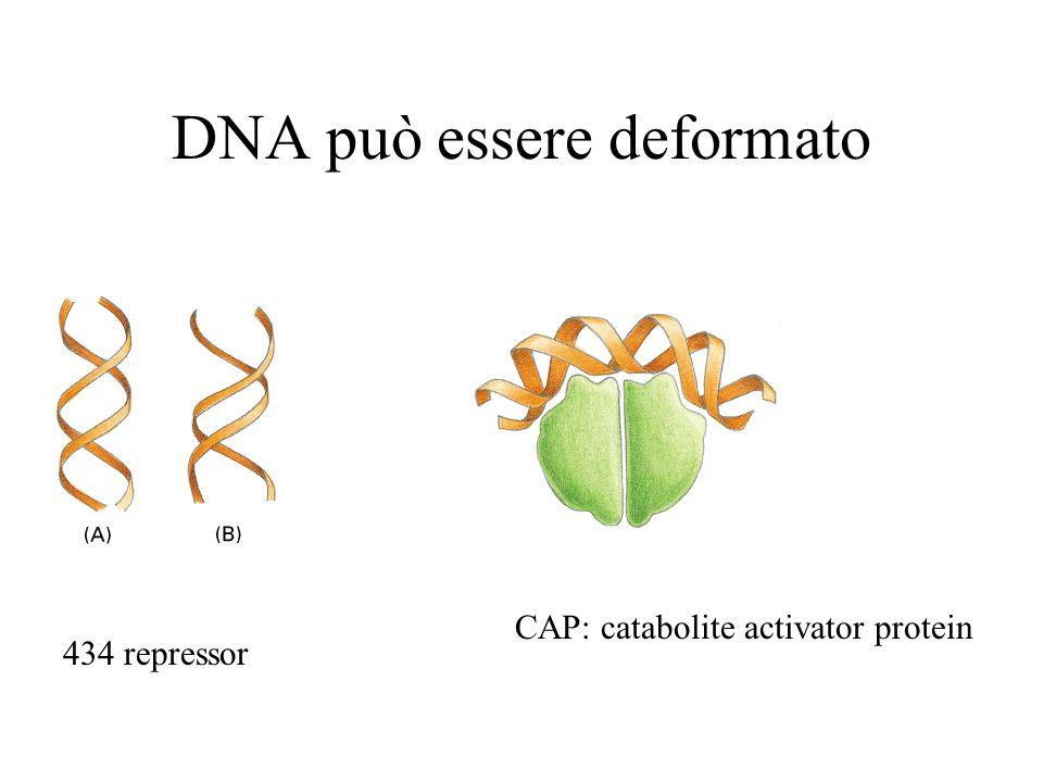 DNA può essere deformato