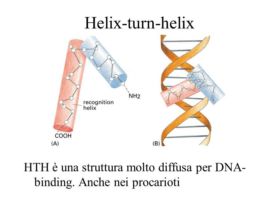 Helix-turn-helix HTH è una struttura molto diffusa per DNA-binding. Anche nei procarioti