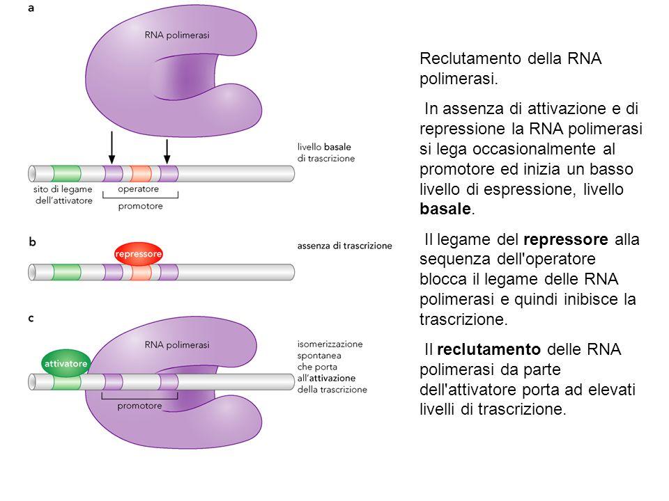 Reclutamento della RNA polimerasi.