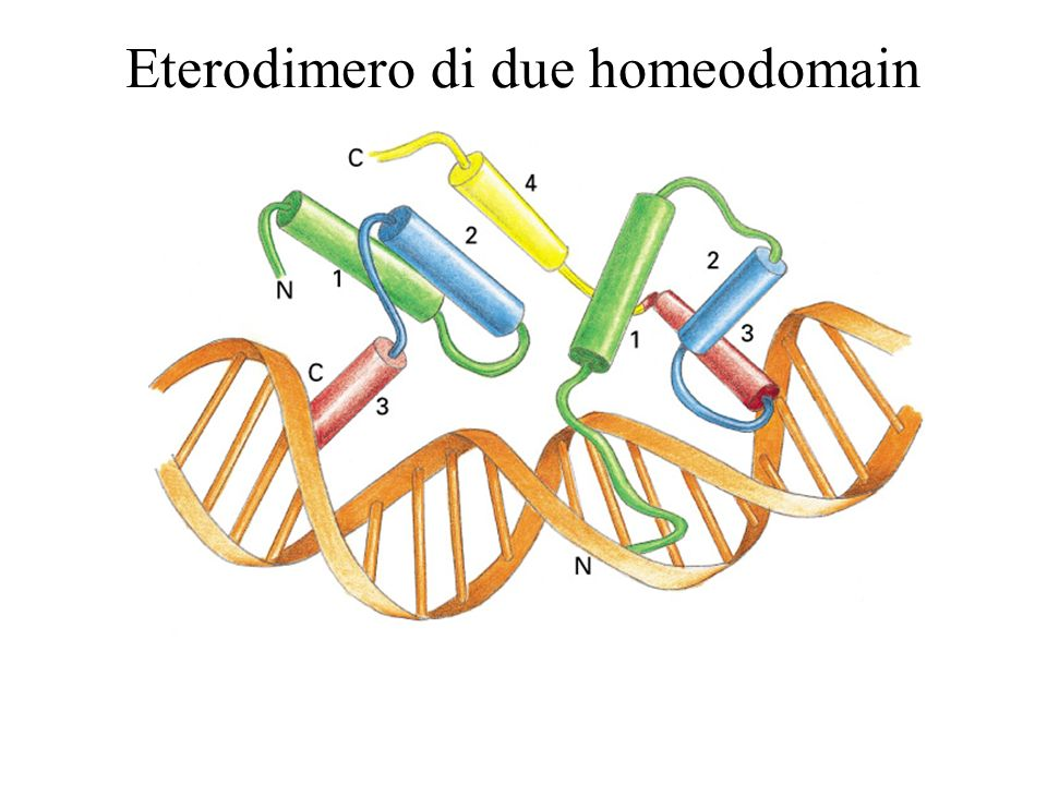 Eterodimero di due homeodomain