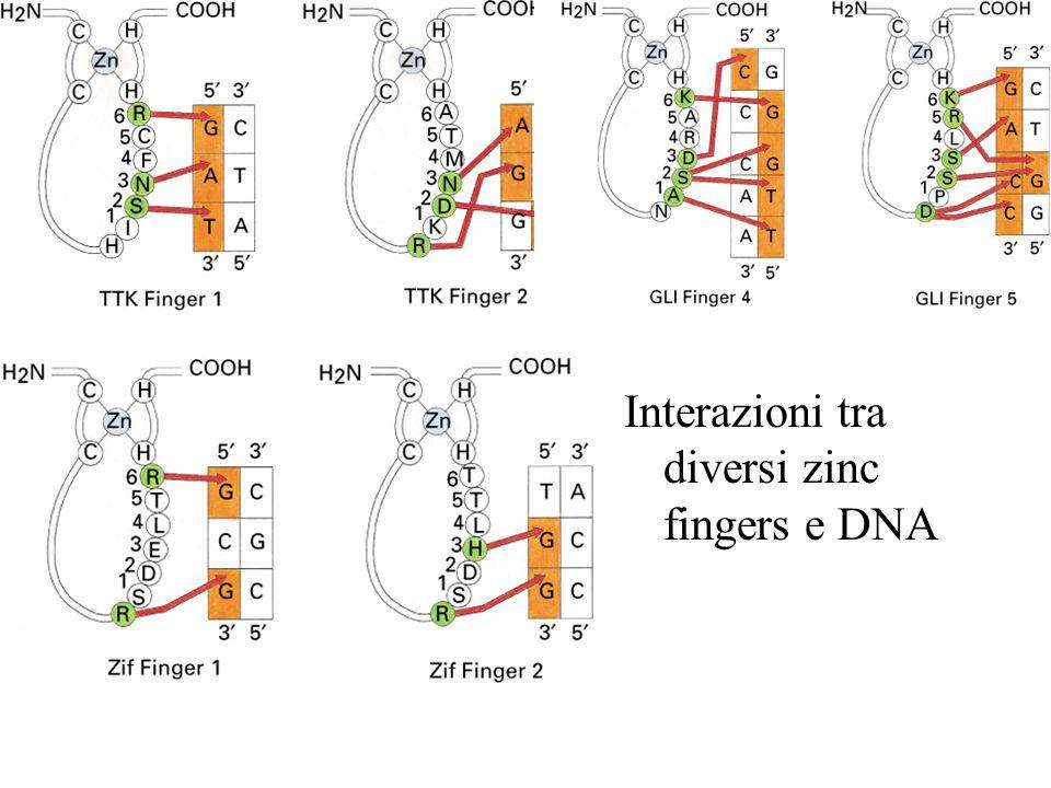 Interazioni tra diversi zinc fingers e DNA