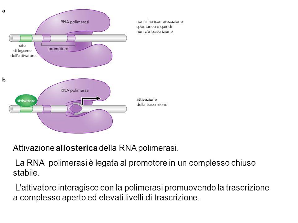 Attivazione allosterica della RNA polimerasi.