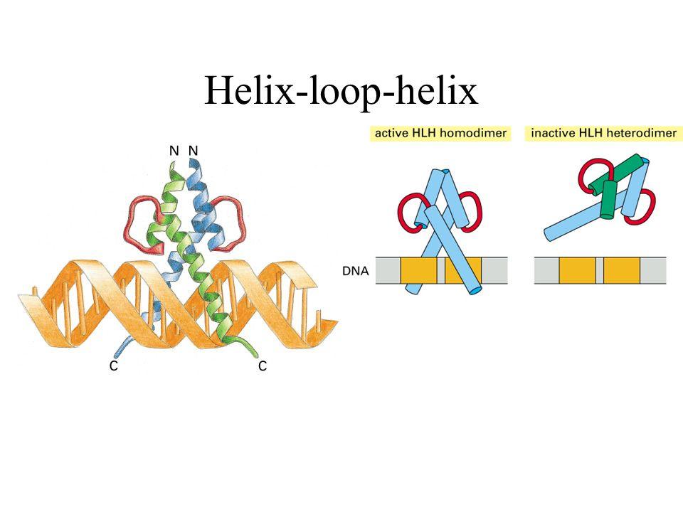 Helix-loop-helix