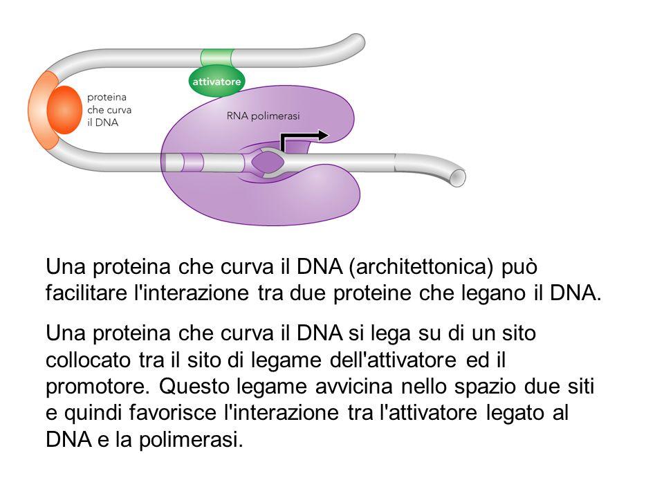 Una proteina che curva il DNA (architettonica) può facilitare l interazione tra due proteine che legano il DNA.