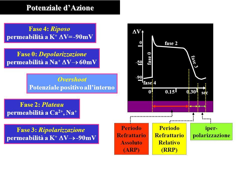 Potenziale d'Azione Fase 4: Riposo permeabilità a K+ DV= -90mV