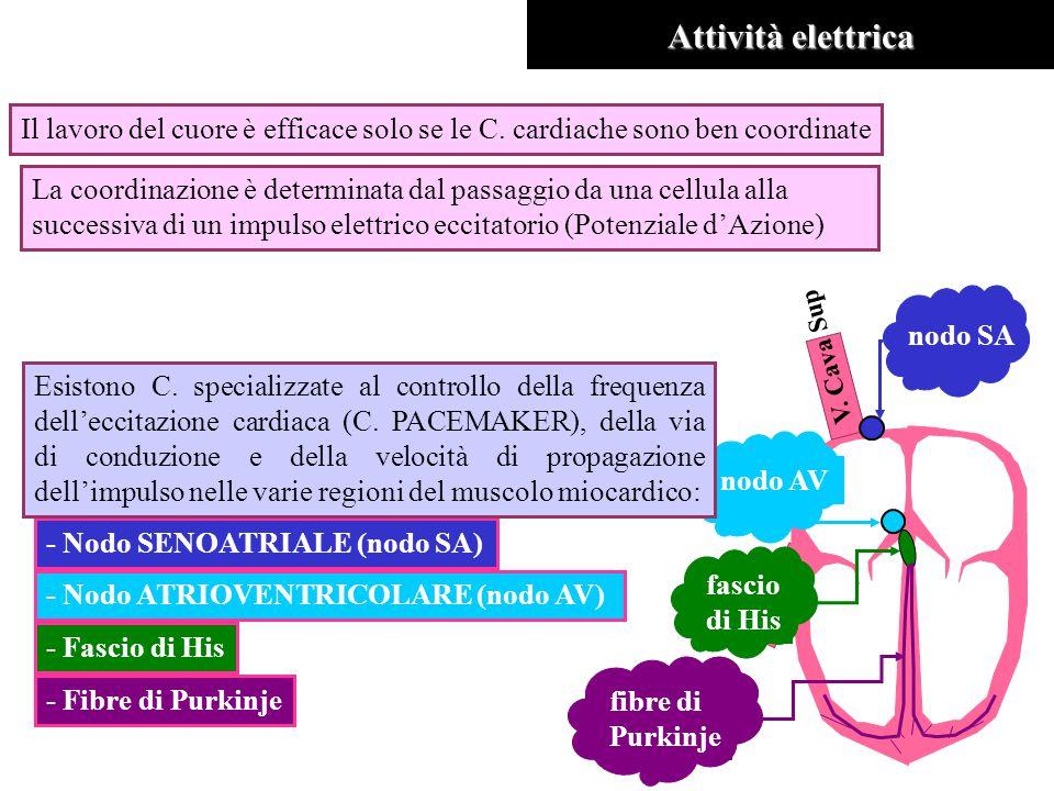Attività elettrica Il lavoro del cuore è efficace solo se le C. cardiache sono ben coordinate.