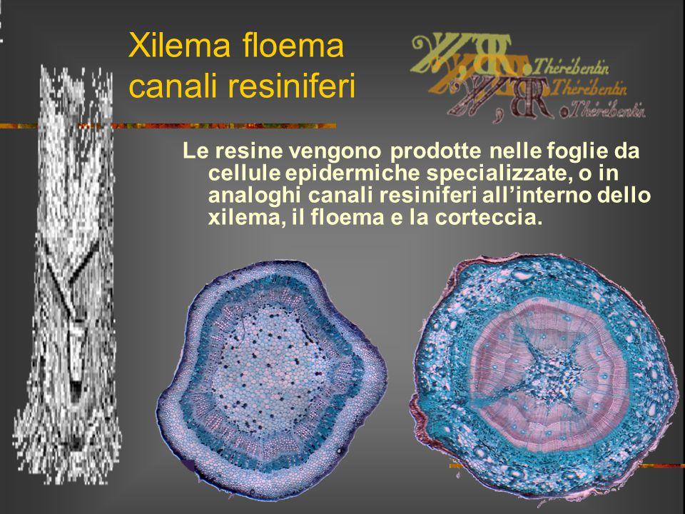 Xilema floema canali resiniferi