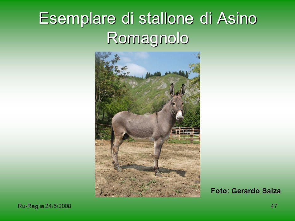 Esemplare di stallone di Asino Romagnolo