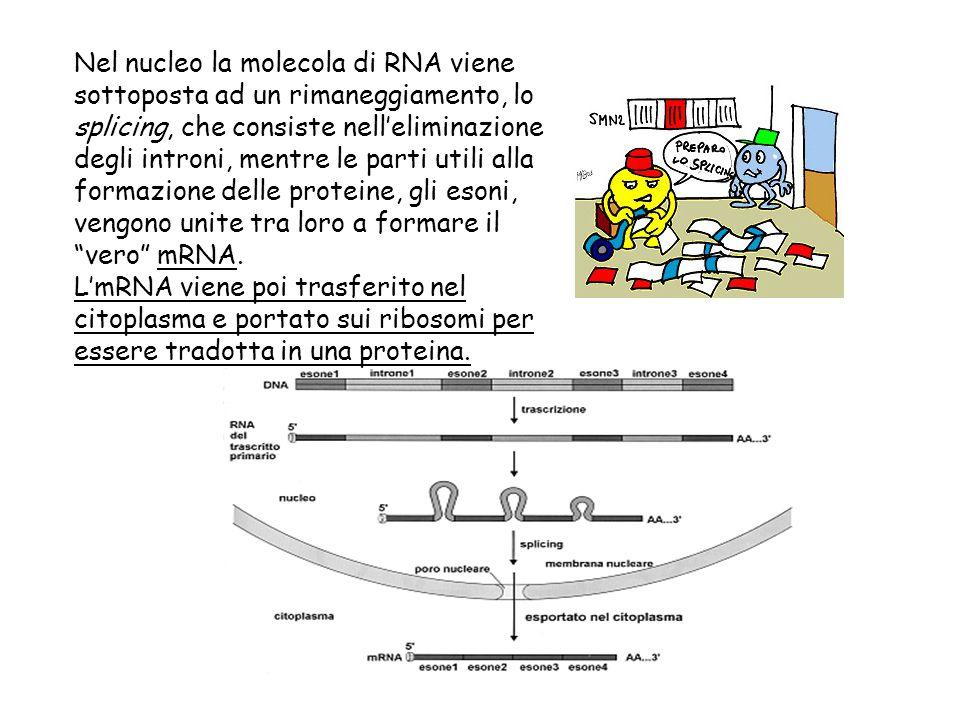 Nel nucleo la molecola di RNA viene sottoposta ad un rimaneggiamento, lo splicing, che consiste nell'eliminazione degli introni, mentre le parti utili alla formazione delle proteine, gli esoni, vengono unite tra loro a formare il vero mRNA.
