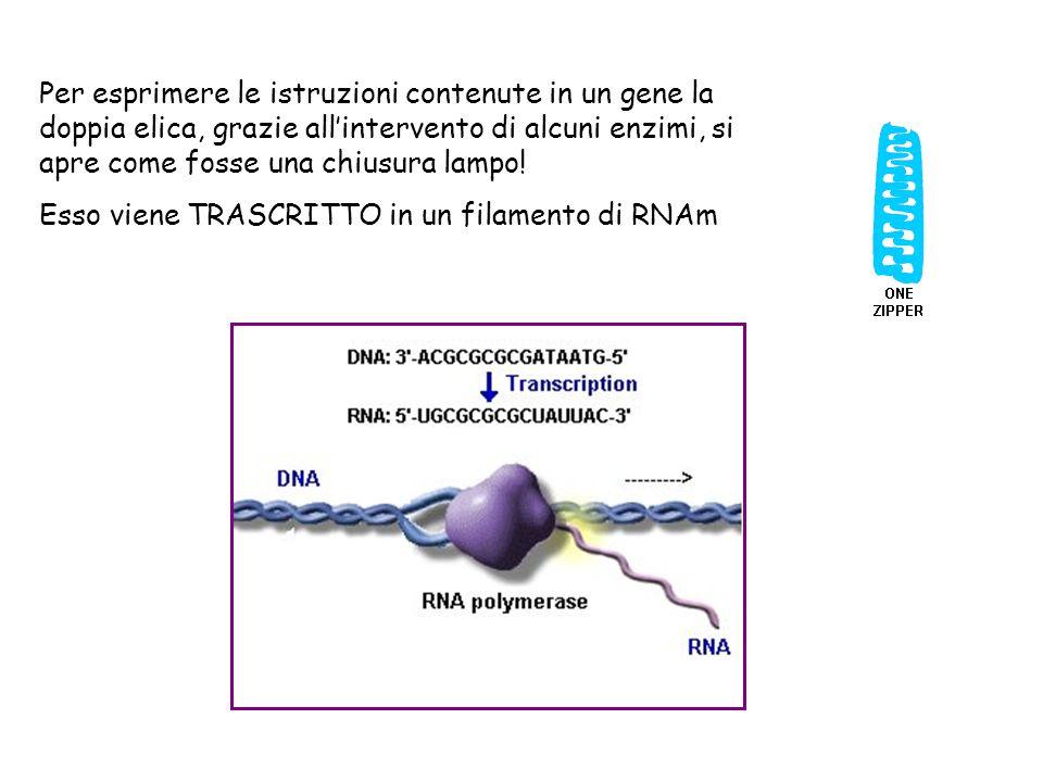 Per esprimere le istruzioni contenute in un gene la doppia elica, grazie all'intervento di alcuni enzimi, si apre come fosse una chiusura lampo!